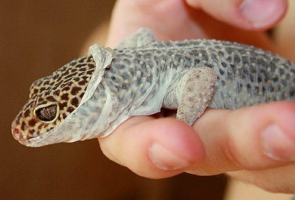 Cara Merawat Leopard Gecko yang Sudah Ganti Kulit
