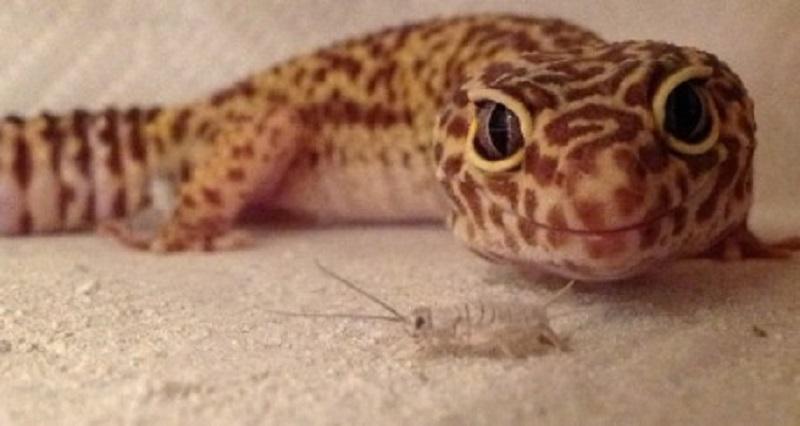 Leopard Gecko makan apa sih