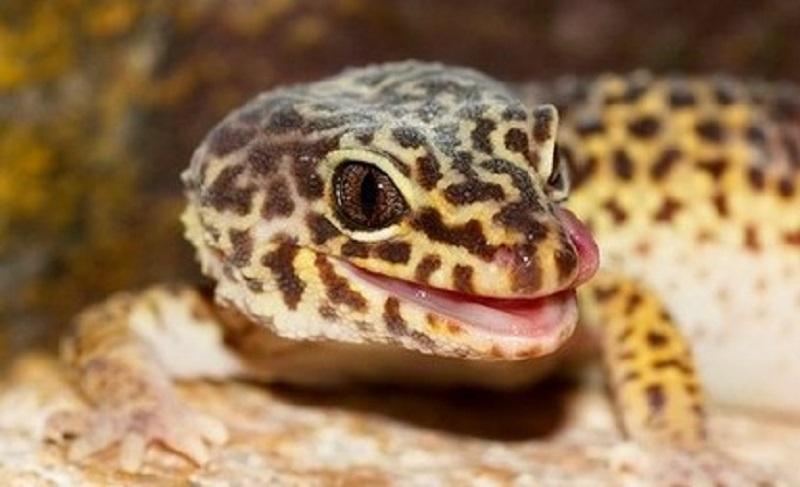 Kenapa Leopard Gecko Tidak Mau Makan