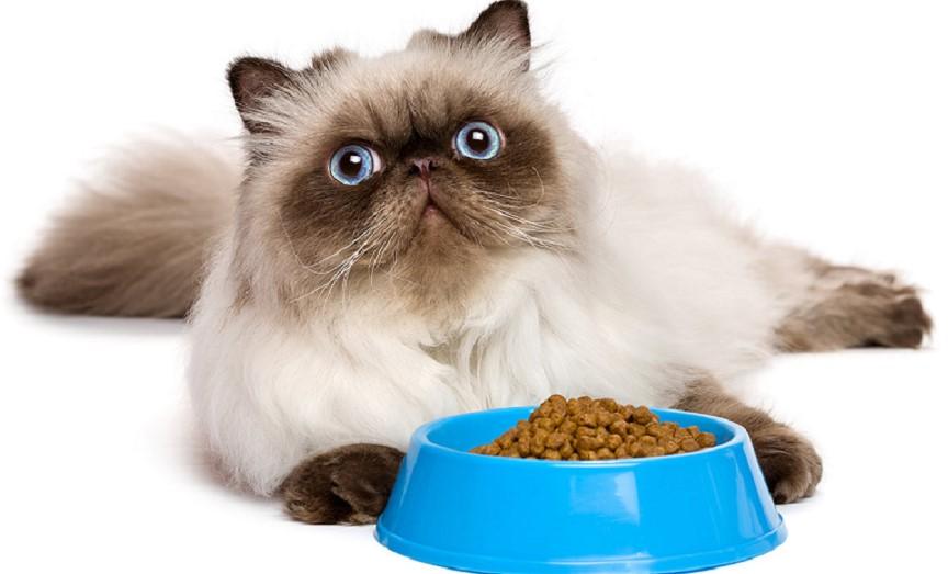 Kucing Persia Boleh Makan Nasi