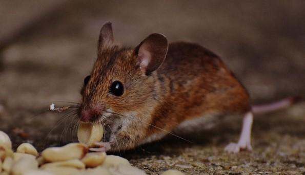 Makanan Tikus