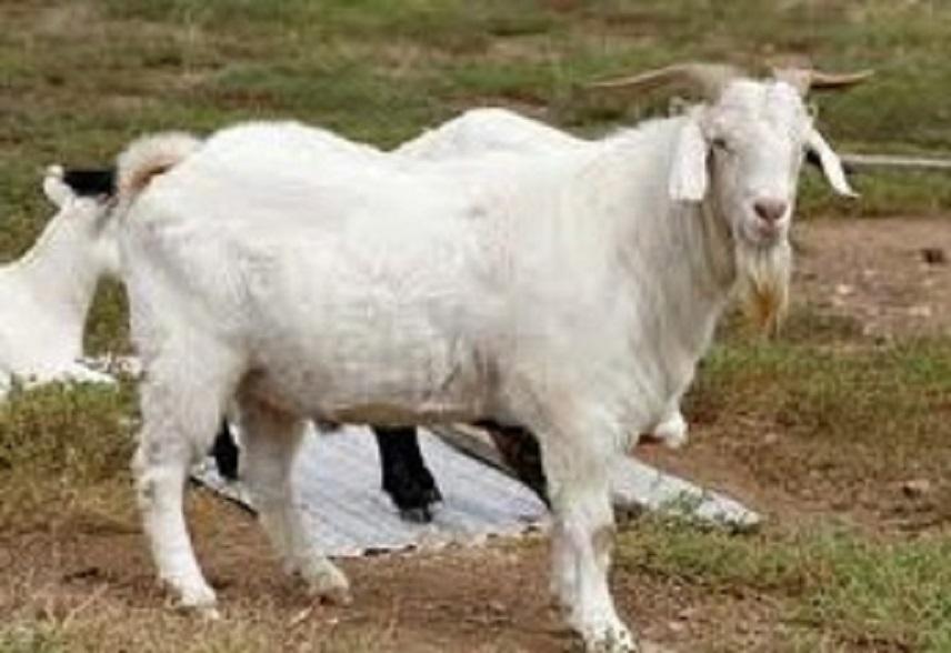 jenis makanan kambing