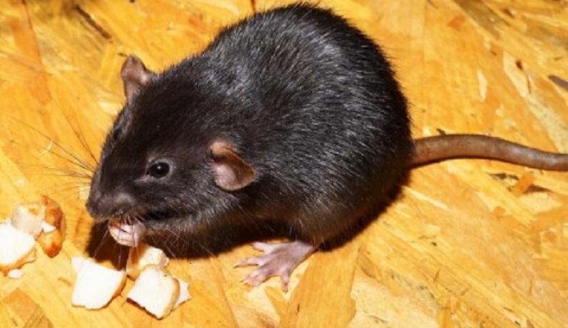 makanan tikus adalah