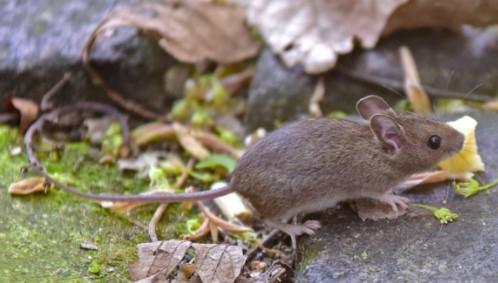 Makanan tikus rumah