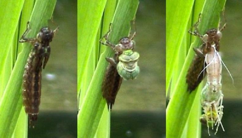 metamorfosis capung larva